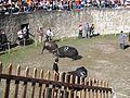 Cowfight12.jpg