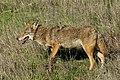 Coyote in Santa Teresa County Park (45559180154).jpg