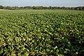 Crop of turnips in a field near Greenstreet Farm, Alfrick - geograph.org.uk - 591235.jpg