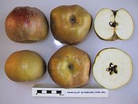 Cross section of Fenouillet de Ribours, National Fruit Collection (acc. 1948-045).jpg