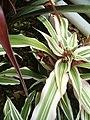 Cryptanthus bromelioides tricolor BotGardBln07122011E.JPG