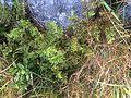 Cryptogramma crispa - hestespreng parsley moss - Blefjell IMG 1573.jpg