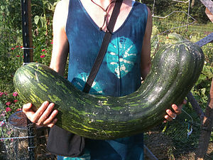 Cucurbita moschata - Image: Cucurbita moschata Long of Naples Squash