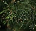 Cupressus chengiana var. jiangeensis (30927060990).jpg