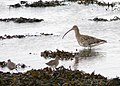 Curlew and Redshank - geograph.org.uk - 713429.jpg