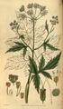 Curtis's Botanical Magazine, Plate 3092 (Volume 58, 1831).png