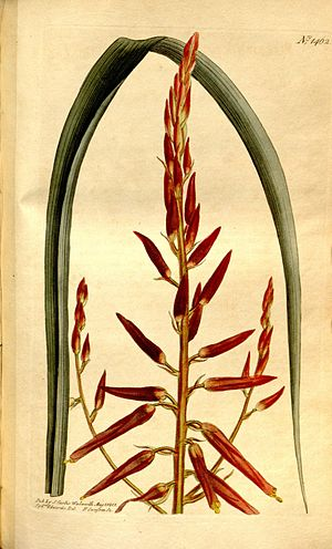 John Bellenden Ker Gawler - Pitcairnia integrifolia, one of many plants named by Bellenden Ker