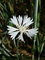 Cyanus segetum sl24.jpg