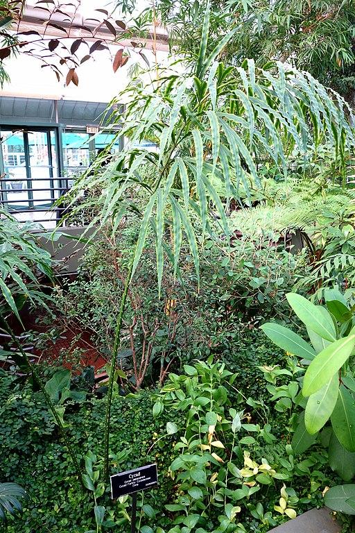 File Cycas Debaoensis Brooklyn Botanic Garden Brooklyn Ny Dsc07992 Jpg Wikimedia Commons