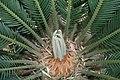 Cycas revoluta 14zz.jpg