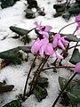 Cyclamen coum in snow RHu.JPG