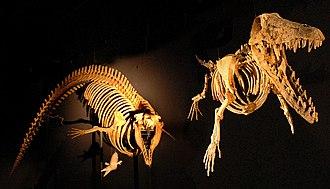 Archaeoceti - Cynthiacetus and Ambulocetus skeletons