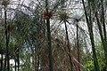 Cyperus papyrus 24zz.jpg