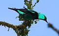 Dacnis venusta -Panama-8a (cropped).jpg