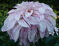 Dahlia concours international 2012 Parc Floral 12.JPG