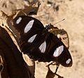 Danaid Eggfly. Hypolimnas misippus. Male upperside. - Flickr - gailhampshire.jpg