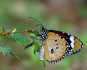 Pheromone - Male Danaus chrysippus showing the pheromone pouch and brush-like organ in Kerala, India
