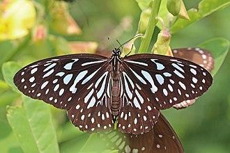 Tirumala septentrionis - Image: Dark blue tiger (Tirumala septentrionis dravidarum)