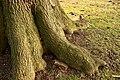 De 'Duizendjarige Eik' , opgaande boom - 375770 - onroerenderfgoed.jpg
