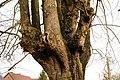 De Zeven-Sacramentenboom , opgaande linde - 375676 - onroerenderfgoed.jpg