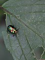 Dead-Nettle Leaf Beetle (Chrysomalidae Chrysolina fastuosa) (7272824580).jpg