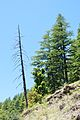 Dead and Alive Conifers - Green Valley - NH-22 2014-05-08 1626.JPG