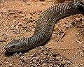 Deadly Snake-01+ (1914760565).jpg