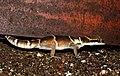 Deccan Banded Gecko Geckoella deccanensis by Dr. Raju Kasambe DSCN7960 (37).jpg