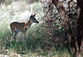 Deer, Whitetail Fawn (251117102).jpg