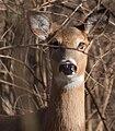 Deer 3337.jpg