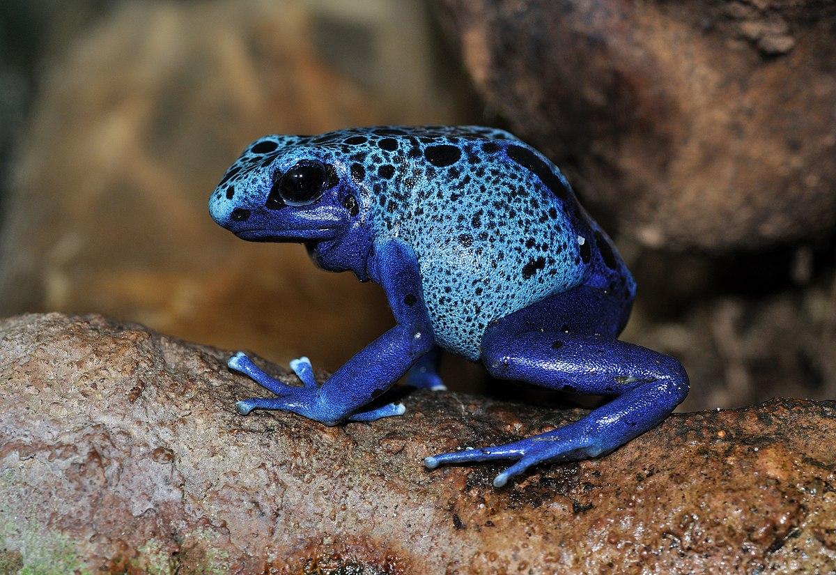 blue poison dart frog wikipedia