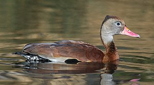 Black-bellied whistling duck - A black-bellied whistling duck in the water