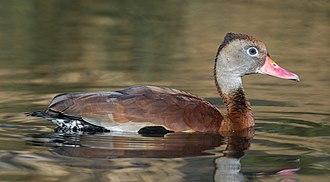 Whistling duck - Image: Dendrocygna autumnalis, London Wetland Centre, UK Diliff