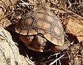 Desert Tortoise hatchling.jpg