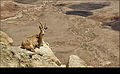 Desert ibex in Mitzpe Ramon Israel..jpg