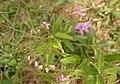 Desmodium paniculatum flowers and fruits.JPG