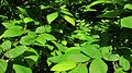 Detail of hornbeam's leaves from a tree in Parco del Lura in Saronno, Italy 2015-05-10.JPG