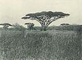 Deutsch-Ostafrika, Zentrales Steppengebiet (Busse) - Tafel 45 - Schirmakazien.jpg
