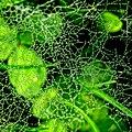 Dew drops - Flickr - Stiller Beobachter.jpg