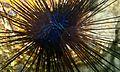 Diadema Urchin (Echinothrix diadema) (6056165252).jpg