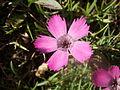 Dianthus pavonius1.jpg
