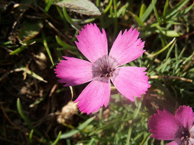 File:Dianthus Pavonius1.jpg