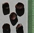 Dietes iridioides seeds, by Omar Hoftun.jpg