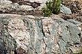 Dikes intruding tillite (Nipissing Diabase & Gowganda Formation, Paleoproterozoic; Percival Lake roadcut, Ontario, Canada) 2 (40761235753).jpg