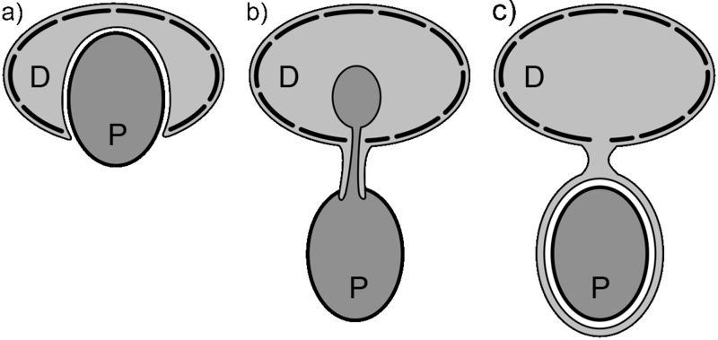 File:Dinoflagellate feeding types.png