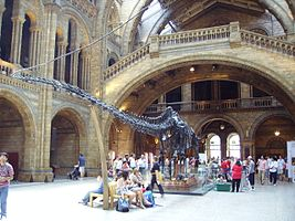 Diplodocus skeleton, incl tail NHM.JPG