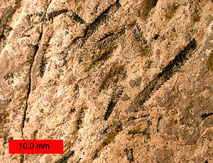 Hemichordate - Amplexograptus, a graptolite hemichordate, from the Ordovician near Caney Springs, Tennessee.
