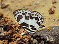 Discolampa ethion – Banded Blue Pierrot 08.JPG