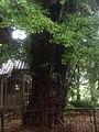 Distylium Racemosum Shizuoka Shimoda2.jpg
