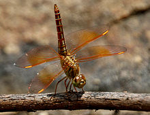 Ditch Jewel (Brachythemis contaminata)- female W IMG 0508.jpg
